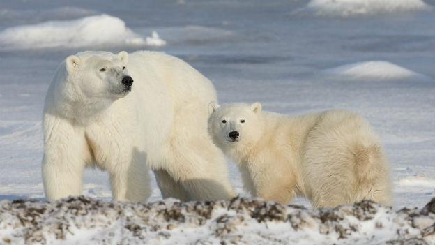Eisbären in der Arktis - der Klimawandel macht ihnen zu schaffen.