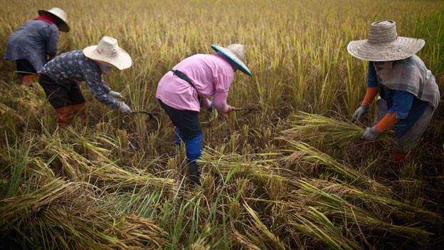 Bauern bei der Reisernte in Phrae, Thailand.