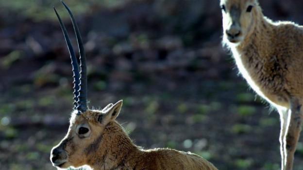 Die Tibet-Antilope: ihr Fell wird auch Königswolle (Shatush) genannt.