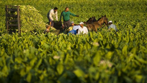 Bauern auf einem Traktor in einem Tabakfeld in Ungarn.