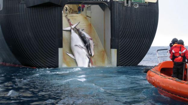 Walfang in Japan: Die japanische Regierung führt gerne wissenschaftliche Argumente ins Feld.