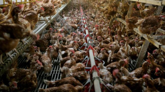 Tausende Hühner leben auf Gitterböden, verteilt über meherer Etagen in einer Hühnerfarm auf engstem Raum.