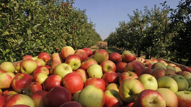 Eine Holzkiste, prall gefüllt mit Äpfeln, steht im Vordergrund, mitten in einer Obstplantage mit Apfelbäumen.