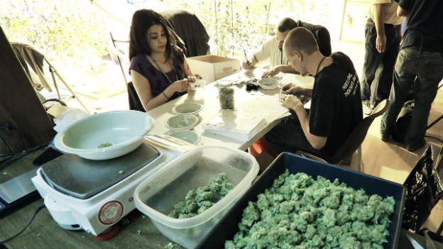 Auf dem Bild ist ein Cannabis-Geschäft in Colorado zu sehen. Mitarbeiter sortieren verschiedene Cannabis-Sorten.
