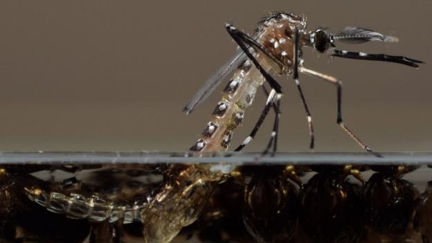Mücke halb im Wasser, halb darüber
