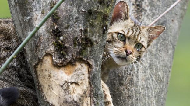 Eine getiegerte Wildkatze im Baumgeäst.