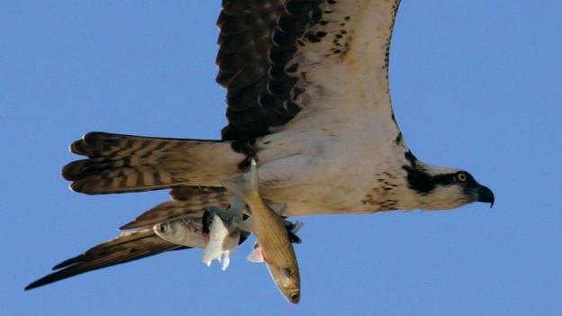 Fischadler in der Luft mit zwei Fischen in den Krallen.
