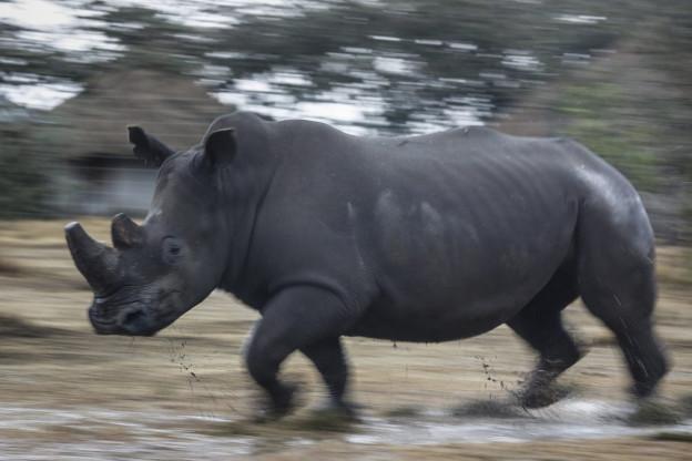 Ein Breitmaulnashorn in Kenia auf der Flucht.