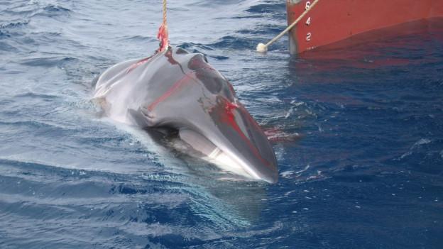 Verletzter Wal vor Schiff.