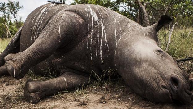Ein abgeschossenes Nashorn liegt auf der Seite - das Horn wurde entfernt.