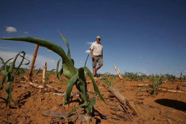 Ein südafrikanischer Bauer begutachtet sein dürres Maisfeld.