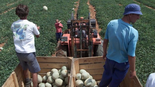 Buren bei der Melonenernte