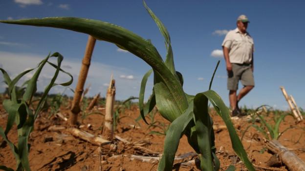 Zu sehen ist ein Farmer, der ein ausgetrocknetes Maisfeld in der südafrikanischen Provinz Free State inspiziert.