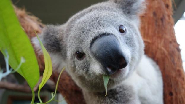 Ein Koala schaut in die Kamera.