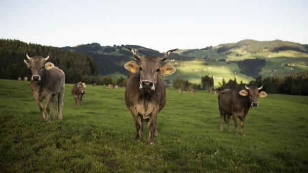 Das Bild zeigt drei behornte Kühe auf einer Weide in Urnäsch. Im Hintergrund das Appenzellerland.