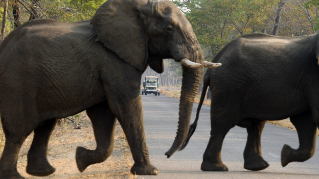 Zwei Elefanten überqueren eine Strasse im Nationalpark.