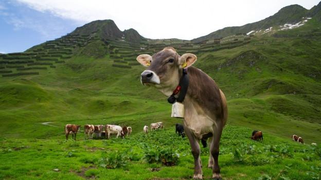 Kühe grasen auf einer Alp.