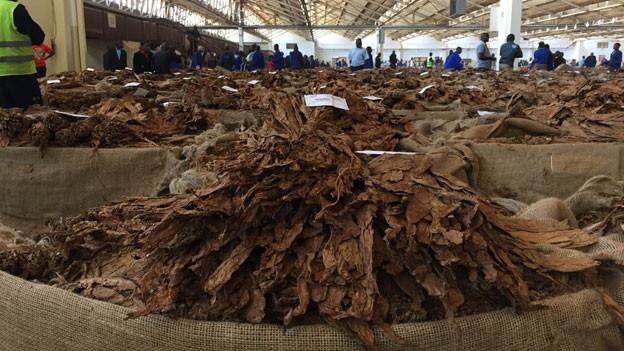 Die Tabakbörse von Lilongwe ist eine der grössten der Welt.