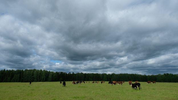 Die Viehweiden von Pavel Kutjavin bei Kirow (1000 Kilometer nordöstlich von Moskau). Das Land ist endlos gross - trotzdem lohnt sich die Landwirtschaft für Kleinbauern in der russischen Provinz kaum.