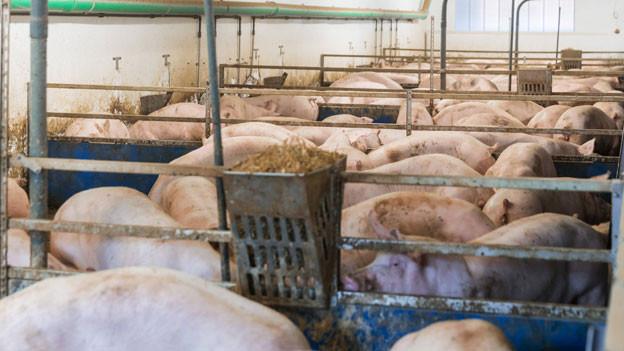 Massentierhaltung von Schweinen.