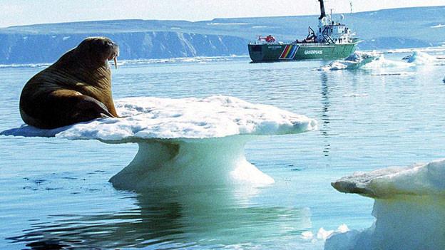 Walross auf Eisscholle. Symbolbild