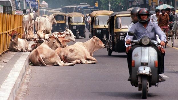 Heilige Kühe liegen in Indien mitten auf der Strasse.