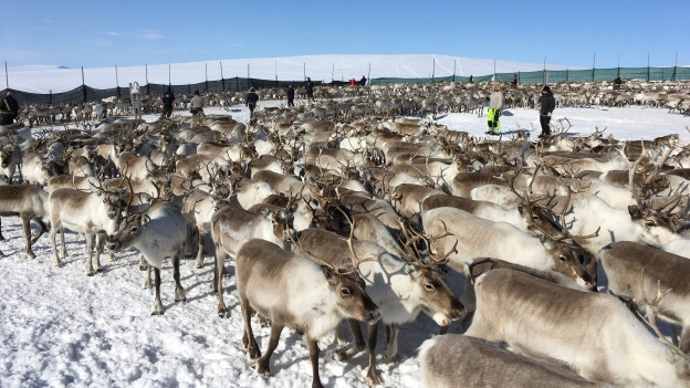 Auf dem Bild zu sehen sind Rentiere im hohen Norden Norwegens: Viele von ihnen werden zwangsgeschlachtet, weil es für sie immer weniger Platz gibt.