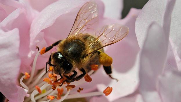 Sterben die Bienen, leidet nicht nur die Landwirtschaft.