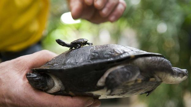 Schlangenhalsschildkröte im Berner Vivarium.