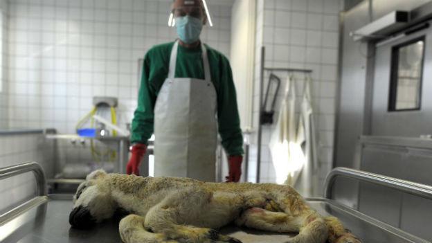 Vorbereitung der Autopsie eines missbildeten Lammes in einem Labor in Krefeld (Deutschland) am 27. Januar 2012