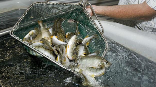 Egli in der Fischzucht Valperca im Wallis.