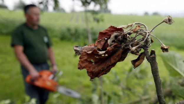 Feuerbrand: Millionenschäden in der Landwirtschaft