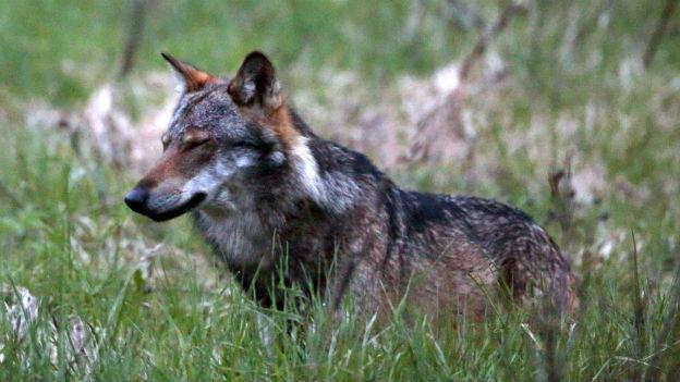Ein Wolf im Wallis (Mai 2013).