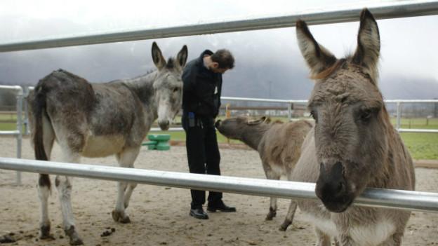 Therapie für Straftäter: in Saxerriet bringen Esel den Häftlingen soziales Verhalten bei.