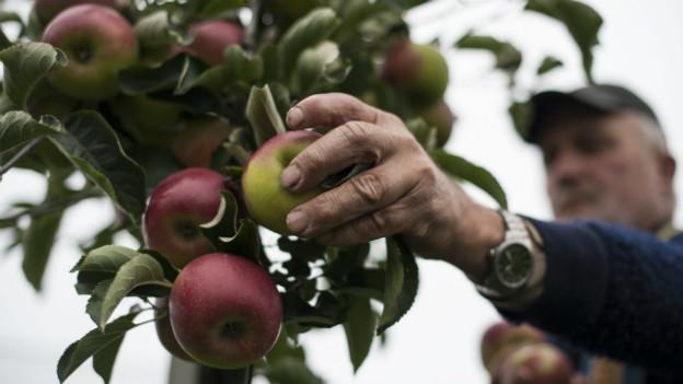 Äpfel aus der Schweiz oder dem Ausland - über den jeweiligen Anteil wird gestritten.