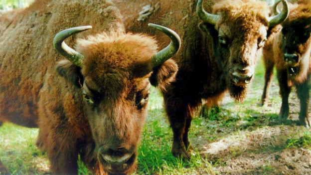 Leben europäische Bisons bald schon in der Schweiz?