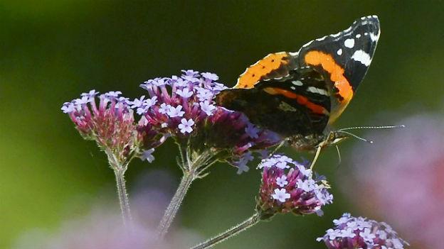 Schmetterlinge verschieben ihren Lebensraum.