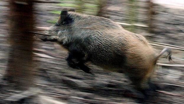 Problemtier Wildschwein