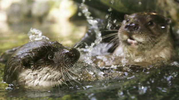 Zwei Fischotter im Zürcher Zoo in ihrem Freigehege.