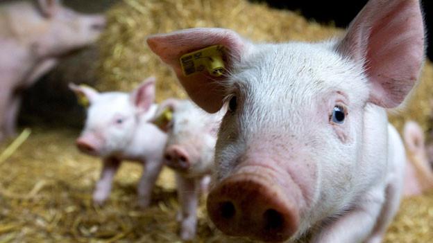 Ob es allen Schweinen in der Schweiz so gut geht?