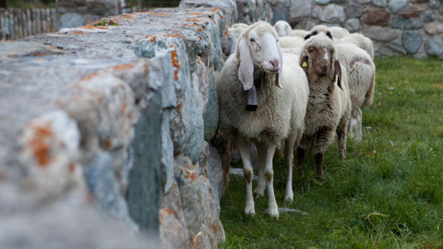 Saaser Mutten (Schafe) stehen an einer Steinmauer.