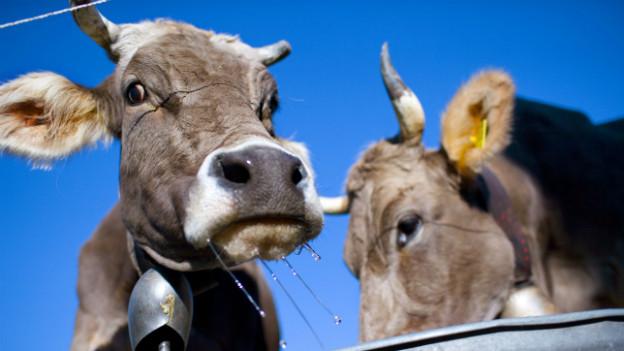 Zwei Kühe auf einer Weide im Engadin beim Trinken aus einem Wasserbottich.