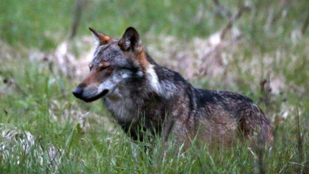 Wolf streift durch die Wälder