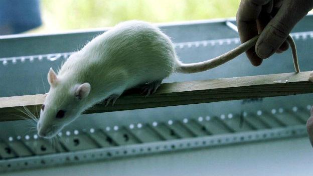 Versuch mit Rückenmarks-verletzten Ratten