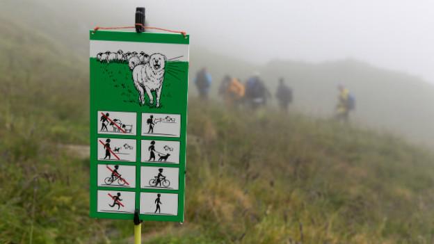 Eine grün-weisse Infotafel zum Herdenschutz steht auf einer Alpwiese.