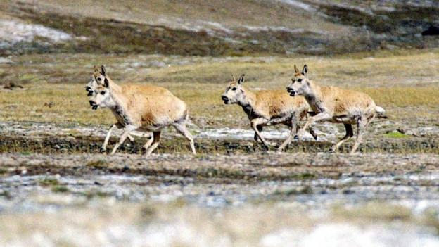 Das Bild zeigt mehrere Tibet-Antilopen, die über eine Wiese rennen.