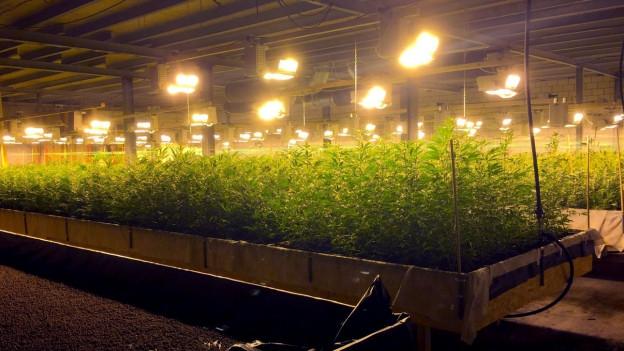 Blick in eine Hanfplantage in einer Lagerhalle in Altstätten SG.