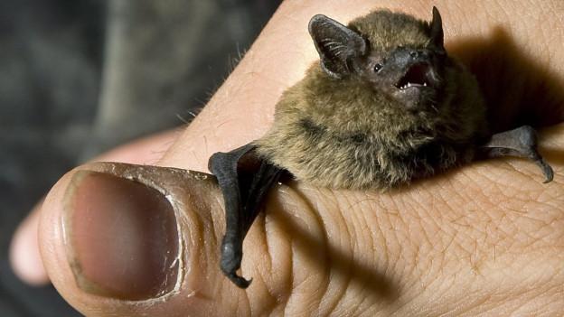 Das Bild zeigt eine Menschenhand, die eine kleine Fledermaus umfasst.