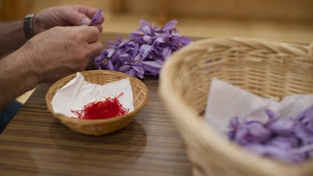 Aufnahme eines Mannes, der aus Safranblüten die Fäden sammelt.