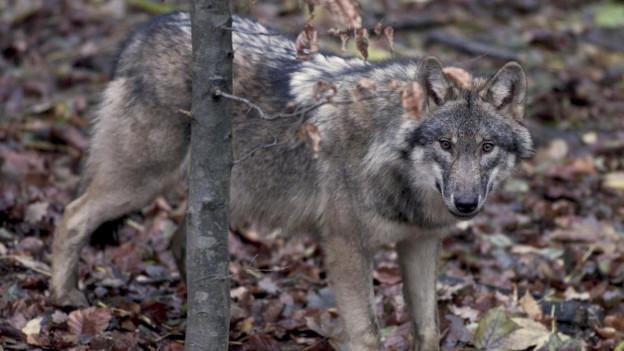 Wolf im Unterholz, in die Kamera blickend.